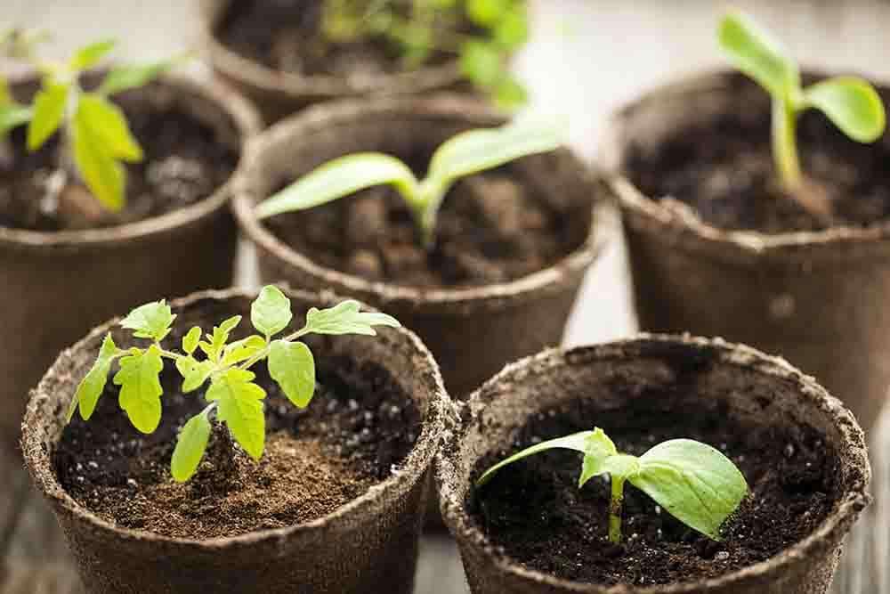 วิธีใช้พีทมอสในการเพาะชำเมล็ดพันธุ์พืช