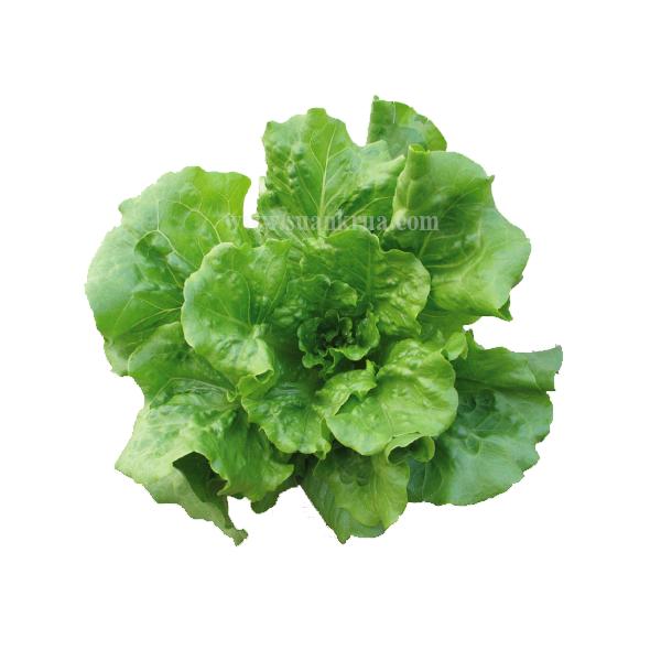 กรีนบัตตาเวีย (Green Batavian Lettuce)