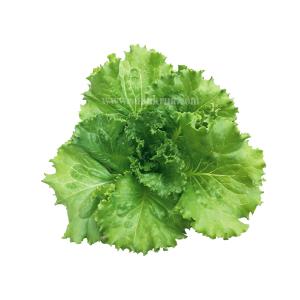 ทรอปิกคาน่า (Tropicana Lettuce)
