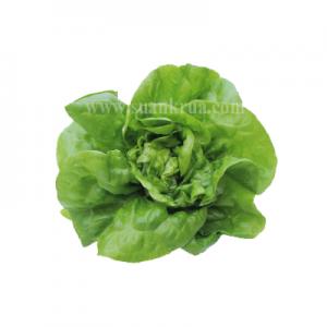 บัตเตอร์เฮดเขียว (Green Butterhead)