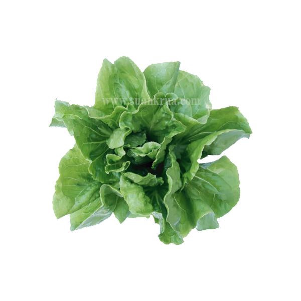 สลัดญี่ปุ่น โอกินาวะ (Okinawa Lettuce)