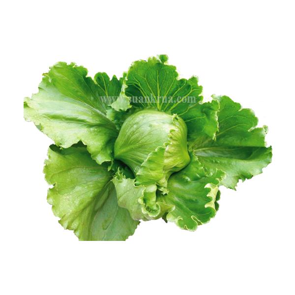 สลัดแก้วญี่ปุ่น ซาลีนาส (Salinas Lettuce)