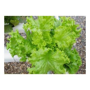 เจนติริน่า (Gentilina Lettuce)
