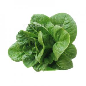 เบบี้กรีนคอส (Baby Green Cos Lettuce)