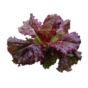 เรดคอส โรแมนซ์ (Red Cos Romaine Lettuce)