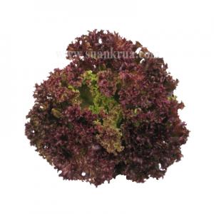 เรดโครอล (Red Coral Lettuce)