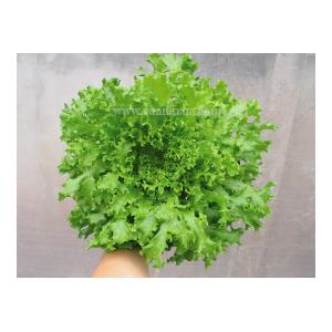 แทงโก้ (Tango Lettuce)